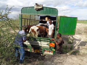 men getting cows out of trucks